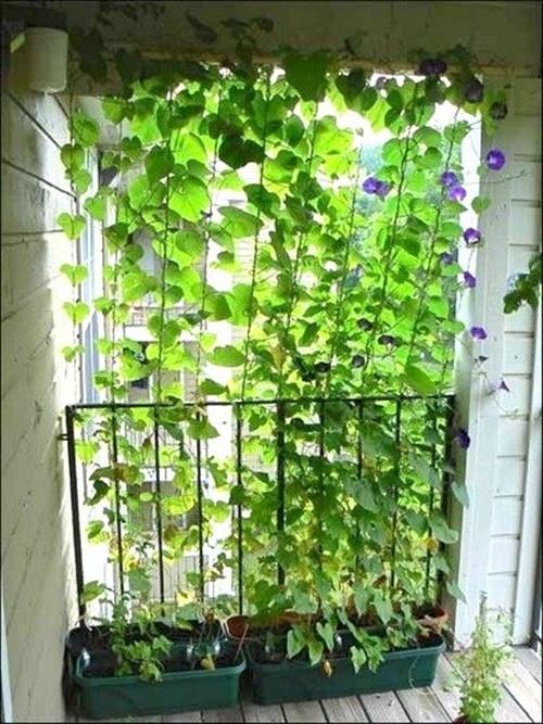 Mẹo trồng cây tạo bóng mát cho nhà ống. 4