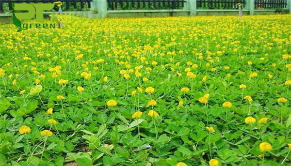4 - Cỏ Đậu Phộng Cho Sân Vườn Nhà Biệt Thự, Nhà Ống